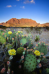 Prickly pear cactus in flower, Big Bend National Park, Texas, USA