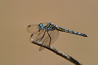 339900024 a wild female blue dasher pachydiplax longipennis perches on a dead twig in sepulveda basin in los angeles county california united states