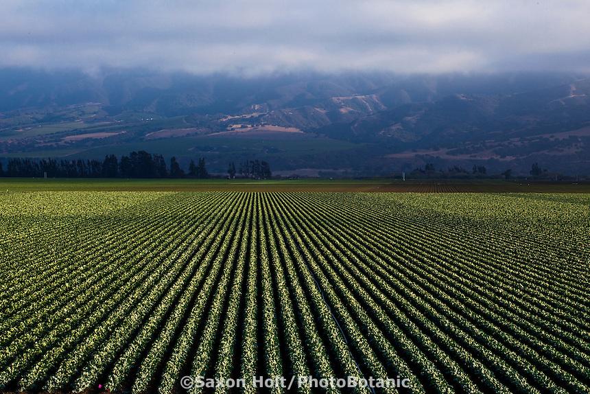 Cauliflower rows in farm field, Huntington Farms, Soledad, California;