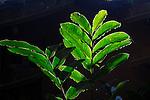 ginger leaves, backlit,