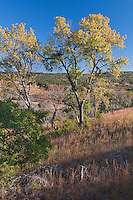 101000001 texas ash fraxinus pennsylvanica native tree on the laurels ranch owned by dave and myrna langford in the hill country of central texas united states