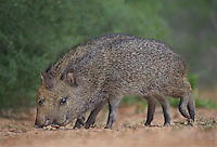 650520304 two wild young javelinas or collared peccaries dicolytes tajacu forage near a waterhole on santa clara ranch in starr county rio grande valley texas united states