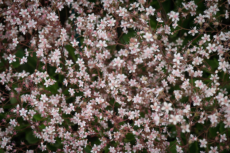 Saxifraga umbrosa, mid May.