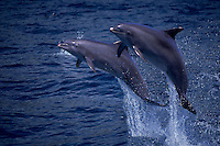 These Atlantic Bottlenose Dolphin, Tursiops truncatus, were photographed at a captive dolphin show in Hawaii and then digitally released onto an open ocean background.