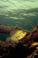 Black Crappie near Fish Crib<br />