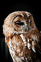 Tawny owl (Strix aluco).