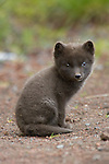 Young arctic fox waiting for his parents to come back from hunting on St Paul Island, Alaska
