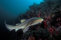 A relatively slow but graceful swimmer, a Zebra Shark, Stegostoma fasciatum, makes its way along a deep reef.  Hin Muang/Purple Rock, Thailand, Andaman Sea. filename: ls33