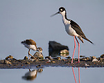A black-necked stilt chick walks on wobbly legs, staying close to its mother