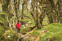 Woman tramper in beech forest near Lake Mackenzie on Routeburn Track, Fiordland National Park, Southland, South Island, UNESCO World Heritage Area, New Zealand, NZ