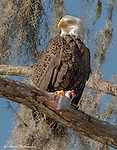 Bald Eagle Lunch