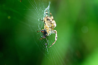 A Spider slowly enjoys his meal - in this case what looks to be what's left of a ant or hapless flying insect who didnt see the web