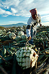 The pin?a or cabeza (head) of the agave. Santa Cruz de Barcenas just outside of Guadalajara, Mexico