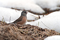 Dark-eyed Pink-sided Junco