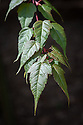 Acer pectinatum ssp. laxiflorum, larte April. Native to western China.
