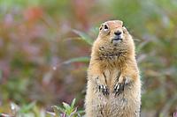 Arctic Ground Squirrel, Denali National Park, Alaska