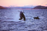 Killer whales Orcinus orca