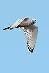 Canada, Manitoba, Churchill, gyrfalcon (Falco rusticola)