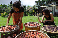 """Sun-dried """"ume"""" plums and shiso leaves, Brown's Field, Isumi, Chiba Prefecture, Japan, August 8, 2009.The organic farm introduces healthy and sustainable living in the Japanese countryside. It is staffed by the Brown family and volunteers from around the world."""