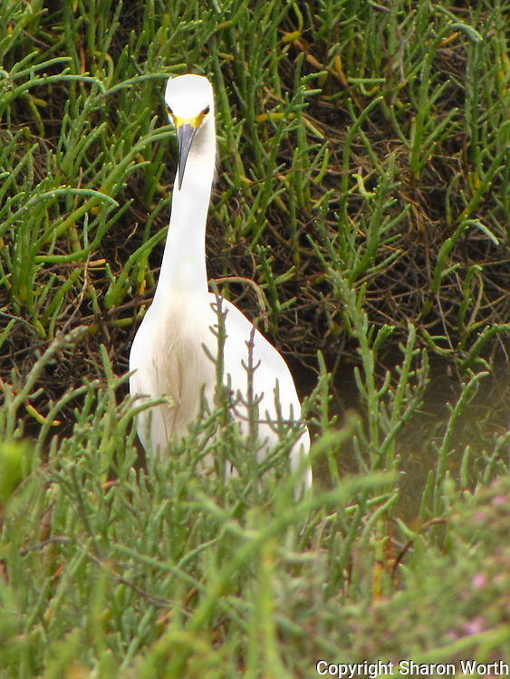 A snowy egret faces the camera for its portrait, or so it appears.