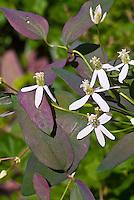 Clematis recta 'Purpurea Select' climbing vine in white flowers in June