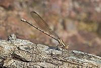 338630005 a wild female springwater dancer argia plana perches on a log along bear creek in cochise county arizona united states..GPS: W 31.63417; N -110.56944