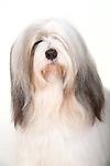 Tibetian Terrier Dog, Portrait in studio, Gold Sable & White colour