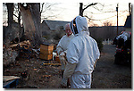 The relocation of an eleven year old feral bee colony from an ancient maple downed by severe northeaster to hive bodies at the same location.