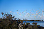 After a simultaneously takeoff from the waters of the Chincoteague National Wildlife Refuge on Assateague Island Virginia, a flock of thousands of snow geese fly in formation towards a new location.