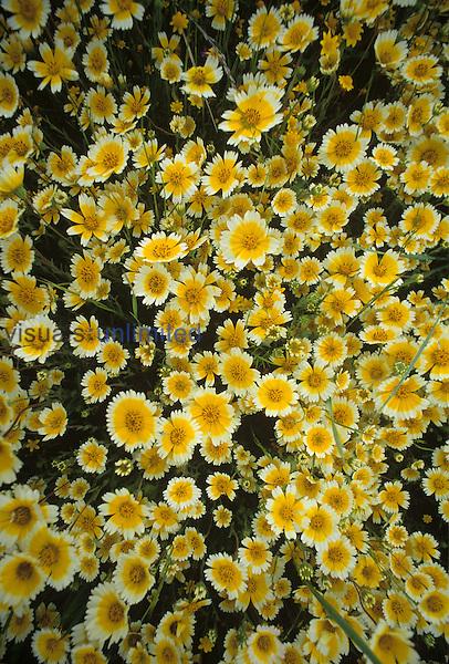 Tidytip flowers ,Layia platyglossa,, Californica, USA.