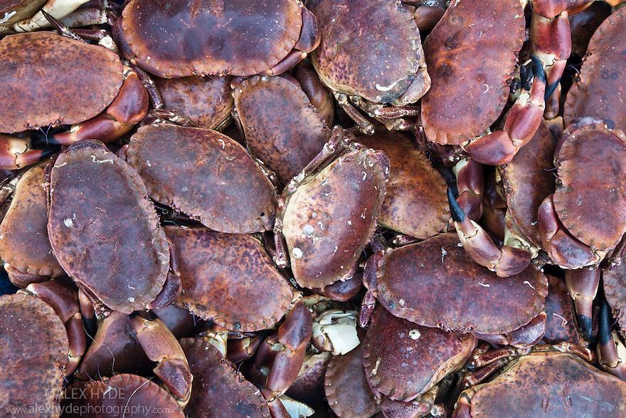 Edible crabs {Cancer pagurus}, freshly caught. Ulva, Isle of Mull, Scotland. June 2010.