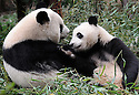 MOTHER AND ADOLESCENT PANDA PLAYING AT THE CHENGDU PANDA BREEDING AND RESEARCH CENTRE, SICHUAN, CHINA. 14/3/13. PICTURE BY CLARE KENDALL 07971 477316