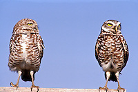 Burrowing owls, Athene cunicularia, standin on perch one looks at the other while the other pretends not to notice