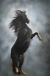 Conquistador, Black Peruvian Paso Fino Stallion, Rears up on hind legs, against fine art background