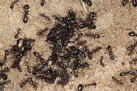 Rossameise, Roßameise, Riesenameise, im Nest mit Puppen und Larven, Camponotus sp., carpenter ant, Rossameisen, Roßameisen, Riesenameisen, Sizilien