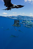 RG41791-D. Atlantic Sailfish (Istiophorus albicans) feeding on Spanish sardines (Sardinella aurita), split view over under image with frigate bird (Fregata sp.) hovering above. Gulf of Mexico, Mexico, Caribbean Sea. Diver in midtop left removed digitally.<br /> Photo Copyright &copy; Brandon Cole. All rights reserved worldwide.  www.brandoncole.com
