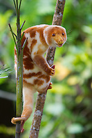Common Spotted Cuscus (Spilocuscus maculatus) perched on a branch, Cape Nelson, Papua New Guinea