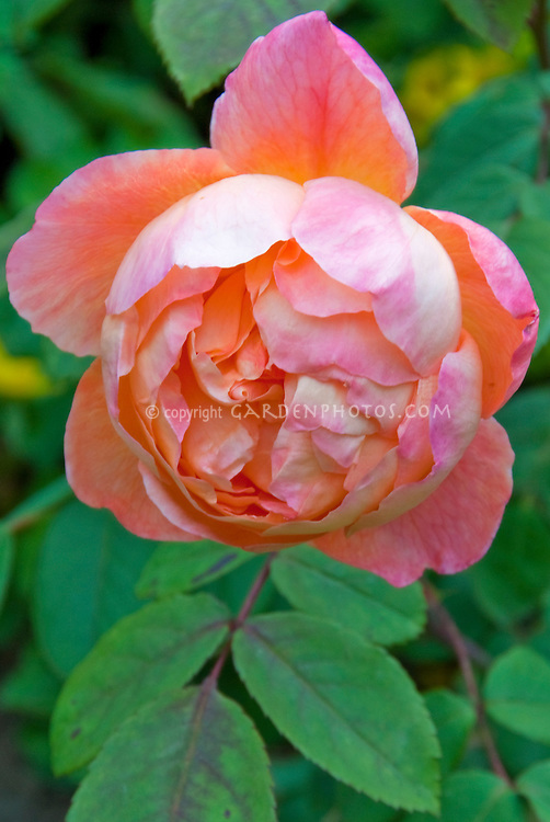 Rose 'Lady Emma Hamilton' aka 'Ausbrother' | Plant ...