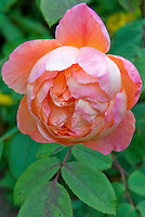 Rose 'Lady Emma Hamilton' aka 'Ausbrother' solitary flower
