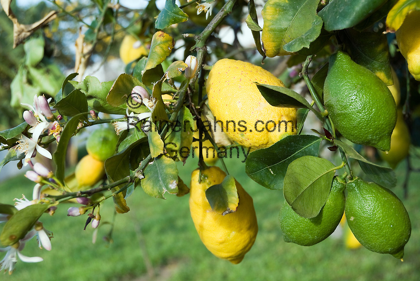 garden yellow lemon tree lyrics: