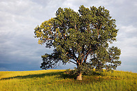 Cottonwood tree in Loess Hills, Iow