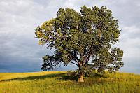 Cottonwood tree in Loess Hills, Iow