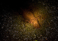 A light shines on an alligator spotted during an alligator hunt along the Cooper River Oct. 5, 2008 in Moncks Corner, South Carolina. After 40 years, the Department of Natural Resources (DNR) issued 1,000 permits to hunt alligators in South Carolina in an effort to control the population which numbers more than 100,000. (Paul Zoeller/pressphotointl.com)