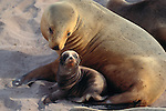 Hooker's sea lion and pup