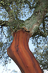 Cork Oak Tree, Quercus suber, showing bark partly removed, Sierra de Andujar Natural Park, Sierra Morena, Andalucia, Spain, primary source of cork for wine bottle stoppers and other uses, such as cork flooring. It is native to southwest Europe and northwest Africa.