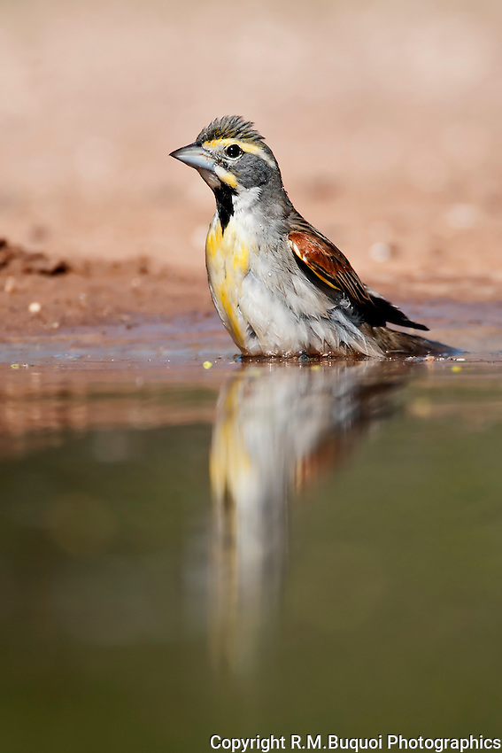 Dickcissel bathing
