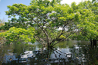 Tree of Albizia genus (Leguminosae, Mimisoideae) in flooded Rio Negro channel, end of 2012 record flood rainy season (June). Amazon rainforest, Amazonas State, Brazil.