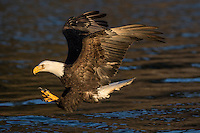 Bald Eagle diving it catch fish