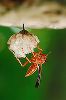 Paper Wasp (Polistes sp.), adult on nest, Fennessey Ranch, Refugio, Coastal Bend, Texas Coast, USA