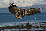 A juvenile bald eagle landing on the beach at Homer, Alaska.